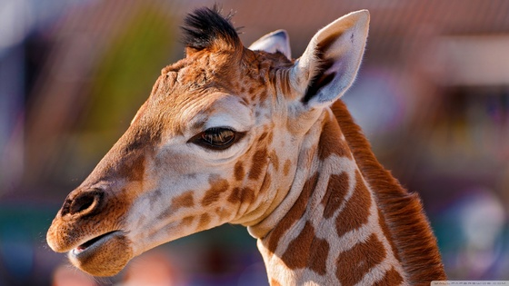 Tile portrait of a baby giraffe wallpaper 2560x1440